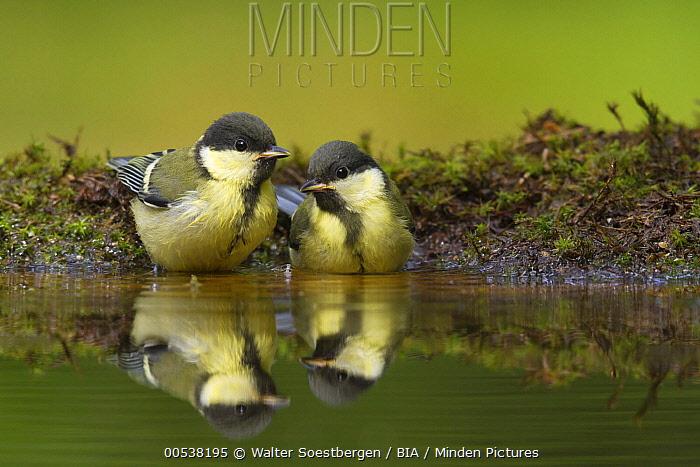 Great Tit (Parus major) pair bathing, Utrecht, Netherlands  -  Walter Soestbergen/ BIA