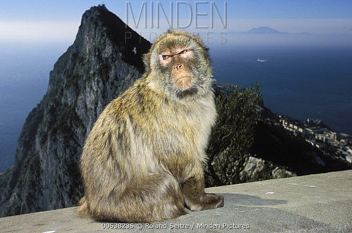 Barbary Macaque (Macaca sylvanus) on cement with city in background, Gibraltar, United Kingdom  -  Roland Seitre