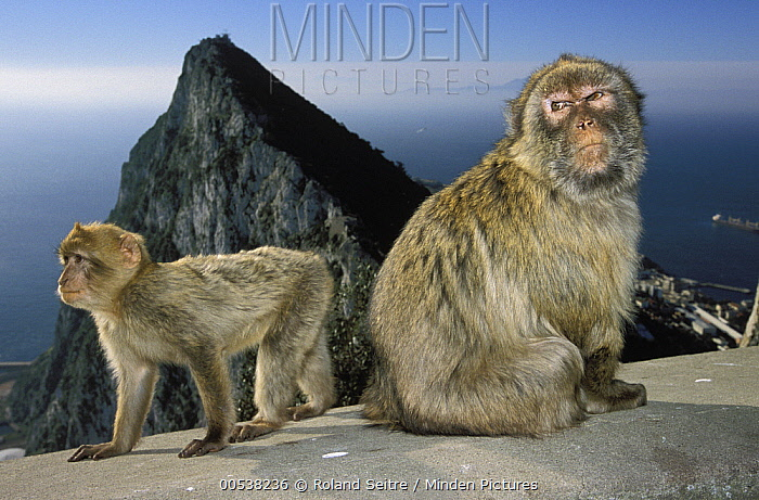 Barbary Macaque (Macaca sylvanus) mother and young on cement with city in background, Gibraltar, United Kingdom  -  Roland Seitre