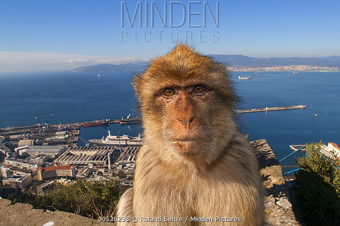 Barbary Macaque (Macaca sylvanus) on cement with  city in background, Gibraltar  -  Roland Seitre