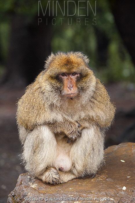 Barbary Macaque (Macaca sylvanus), Azrou, Morocco  -  Roland Seitre