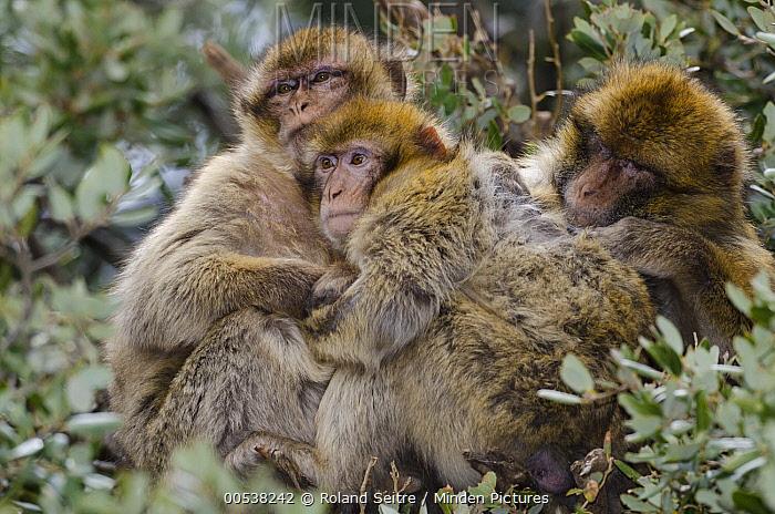 Barbary Macaque (Macaca sylvanus) trio huddled together for warmth, Azrou, Morocco  -  Roland Seitre