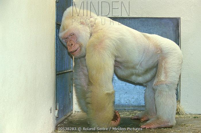 Western Lowland Gorilla (Gorilla gorilla gorilla), albino male named Snowflake, Barcelona Zoo, Spain  -  Roland Seitre