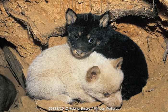 Dingo (Canis lupus dingo) black and white pup, native to Australia  -  Roland Seitre