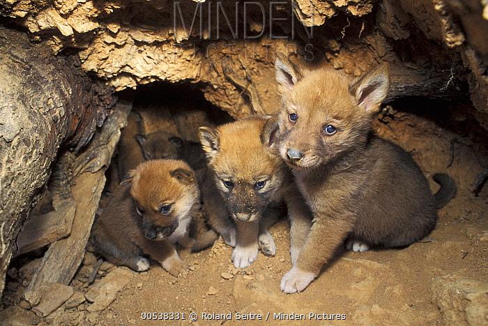 Dingo (Canis lupus dingo) pups in den, native to Australia  -  Roland Seitre