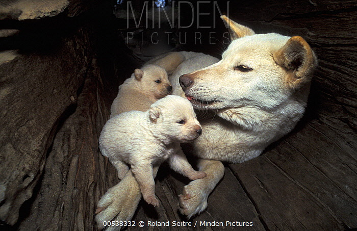 Dingo (Canis lupus dingo) mother with pups in hollow tree trunk, native to Australia  -  Roland Seitre