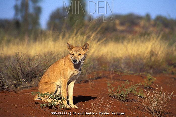 Dingo (Canis lupus dingo) in grassland, native to Australia  -  Roland Seitre