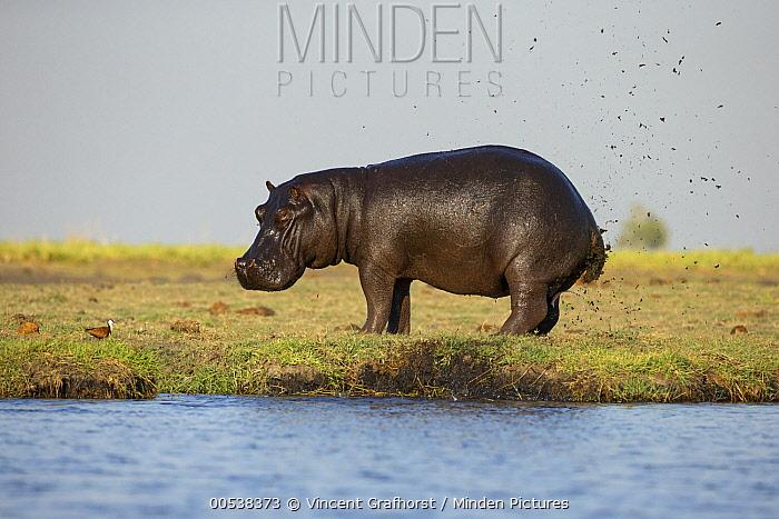 Hippopotamus (Hippopotamus amphibius) bull marking territory by flicking dung, Chobe National Park, Botswana  -  Vincent Grafhorst