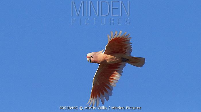 Major Mitchell's Cockatoo (Lophochroa leadbeateri) male flying, Cunnamulla, Queensland, Australia  -  Martin Willis