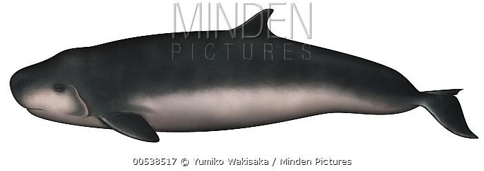 Dwarf Sperm Whale (Kogia sima)  -  Yumiko Wakisaka