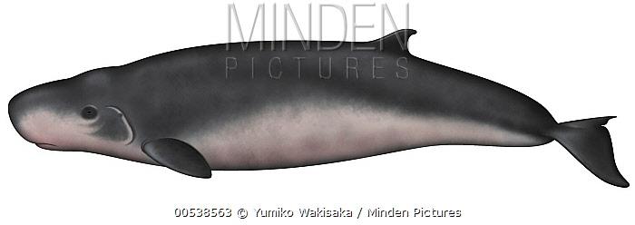 Pygmy Sperm Whale (Kogia breviceps)  -  Yumiko Wakisaka