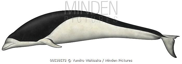 Southern Right Whale Dolphin (Lissodelphis peronii)  -  Yumiko Wakisaka
