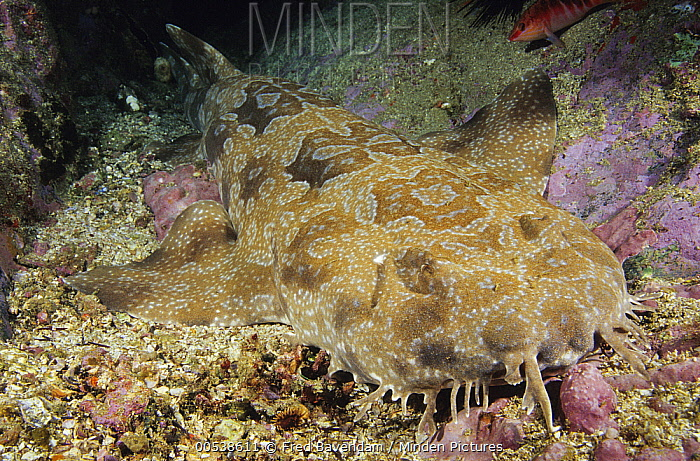 Spotted Wobbegong (Orectolobus maculatus) shark camouflaged on ocean floor, New South Wales, Australia  -  Fred Bavendam