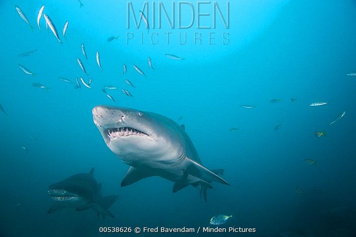 Grey Nurse Shark (Carcharias taurus) pair, New South Wales, Australia  -  Fred Bavendam