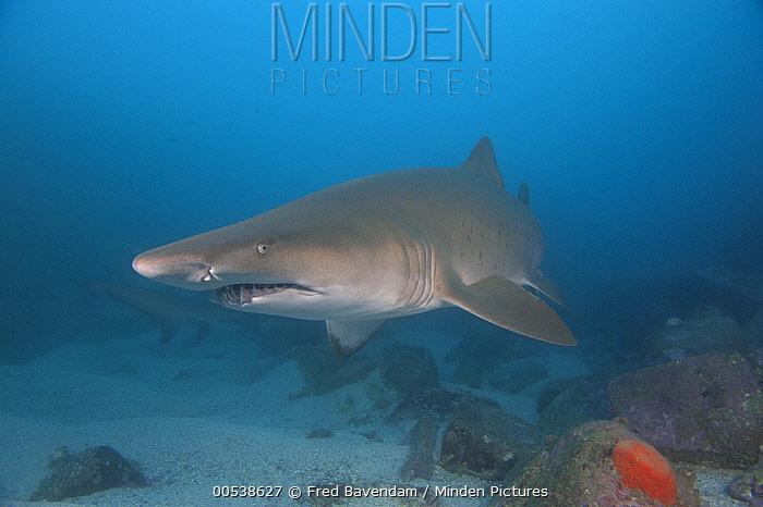 Grey Nurse Shark (Carcharias taurus), New South Wales, Australia  -  Fred Bavendam