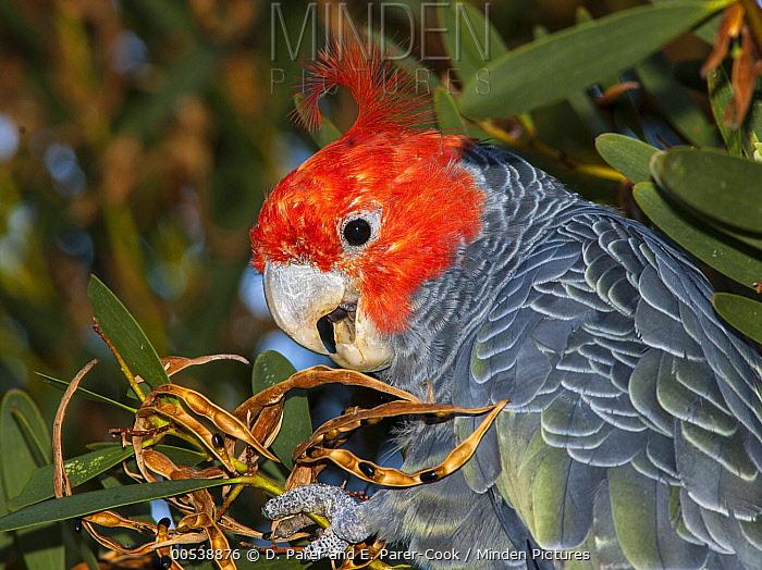 Gang-gang Cockatoo (Callocephalon fimbriatum) male feeding on Acacia (Acacia sp) seeds, Wilsons Promontory National Park, Victoria, Australia  -  D. Parer & E. Parer-Cook