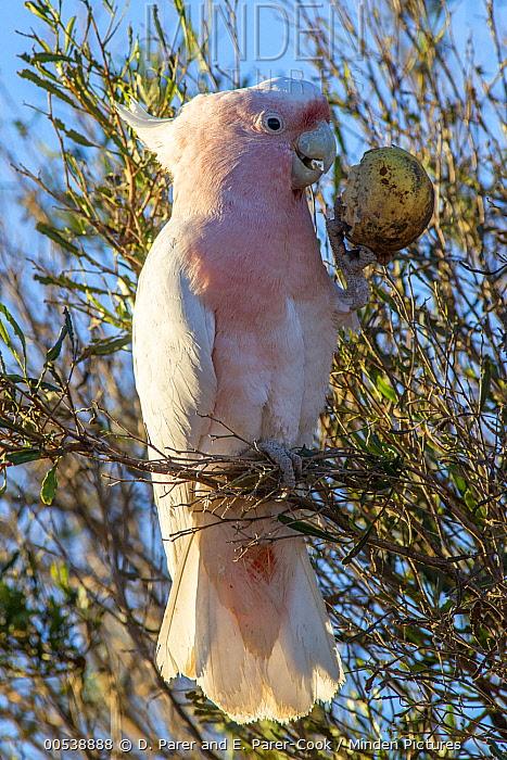 Major Mitchell's Cockatoo (Lophochroa leadbeateri) feeding on Watermelon (Citrullus lanatus) seeds, Rainbow Valley Conservation Reserve, Northern Territory, Australia  -  D. Parer & E. Parer-Cook