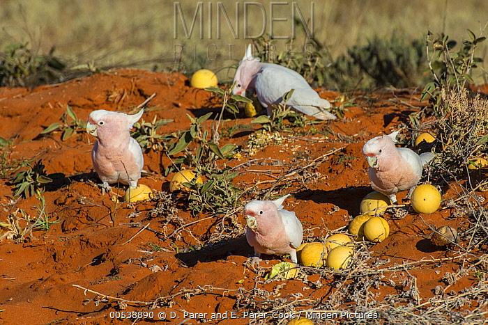 Major Mitchell's Cockatoo (Lophochroa leadbeateri) group feeding on Watermelon (Citrullus lanatus) seeds, Rainbow Valley Conservation Reserve, Northern Territory, Australia  -  D. Parer & E. Parer-Cook