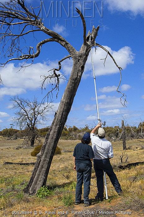 Major Mitchell's Cockatoo (Lophochroa leadbeateri) researchers surveying nest cavities for eggs using video camera, Murray-Sunset National Park, Victoria, Australia  -  D. Parer & E. Parer-Cook