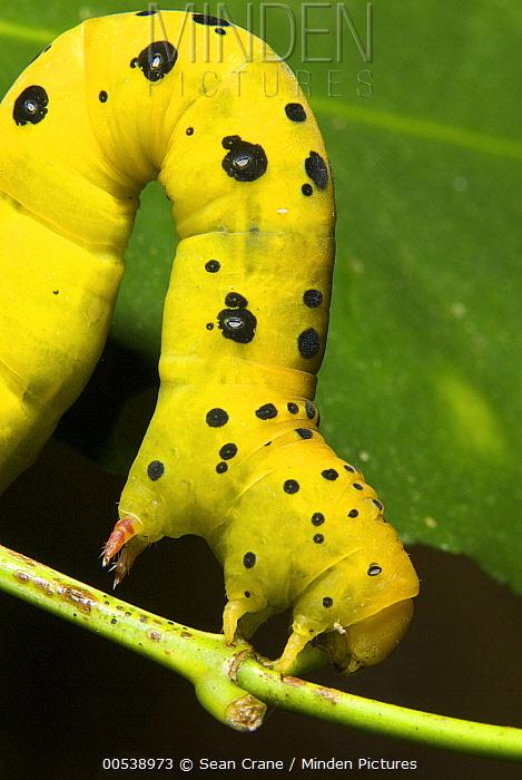 Four O'clock Moth (Dysphania fenestrata) caterpillar on a leaf, Queensland, Australia  -  Sean Crane