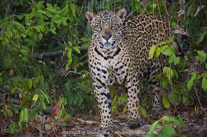 Jaguar (Panthera onca) standing on a river bank, Pantanal, Brazil  -  Sean Crane