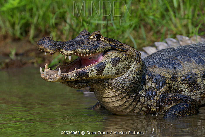 Spectacled Caiman (Caiman crocodilus) entering the water, Pampas, Bolivia  -  Sean Crane