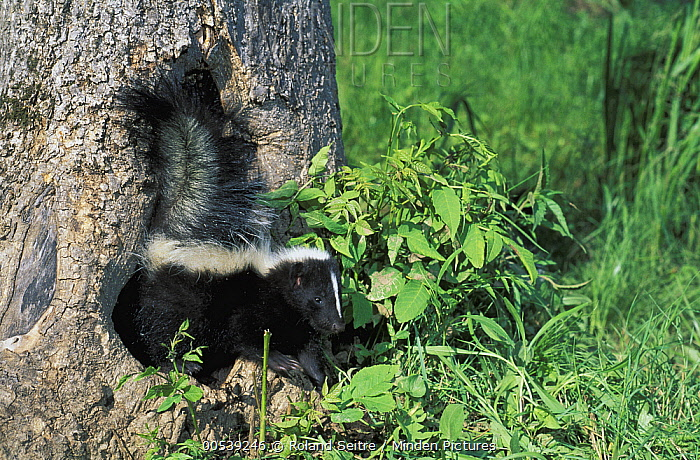 Striped Skunk (Mephitis mephitis) emerging from tree trunk, native to North America  -  Roland Seitre