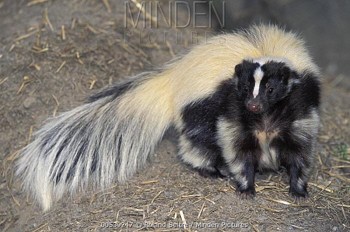 Striped Skunk (Mephitis mephitis), native to North America  -  Roland Seitre