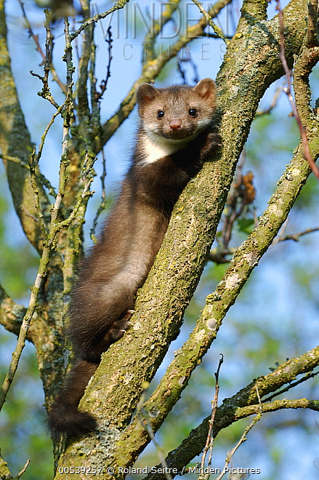 Beech Marten (Martes foina) in tree, native to Europe and Asia  -  Roland Seitre