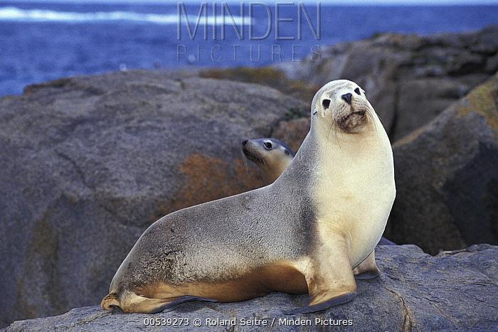 Australian Sea Lion (Neophoca cinerea) male, Australia  -  Roland Seitre