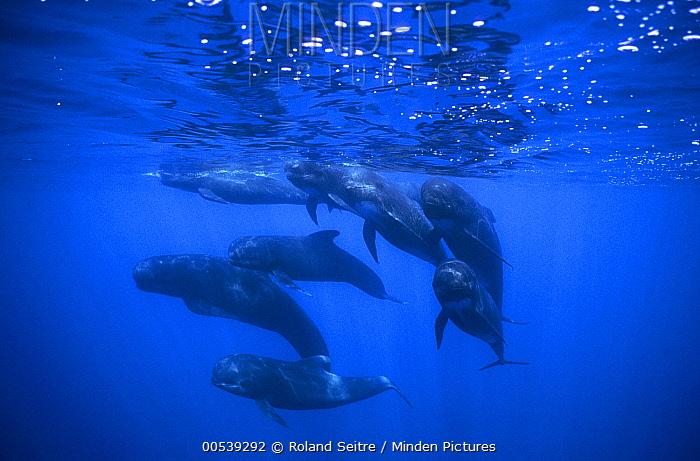 Long-finned Pilot Whale (Globicephala melas) pod  -  Roland Seitre