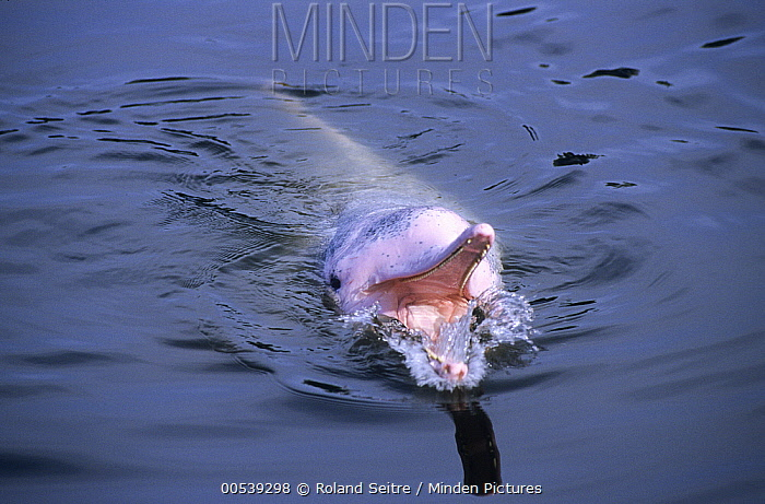 Chinese White Dolphin (Sousa chinensis) at surface, southeast Asia  -  Roland Seitre