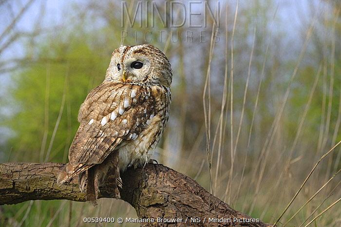 Tawny Owl (Strix aluco) in forest, Zeeland, Netherlands  -  Marianne Brouwer/ NIS