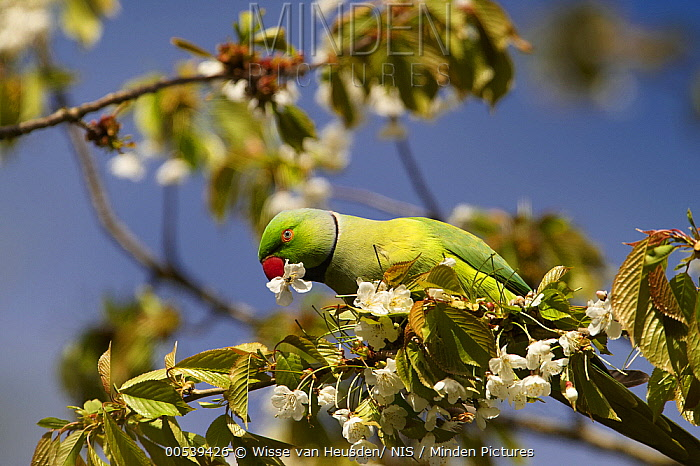 Rose-ringed Parakeet (Psittacula krameri) feeding on flowers, Netherlands  -  Wisse van Heusden/ NIS
