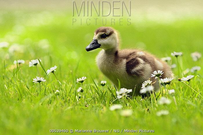 Egyptian Goose (Alopochen aegyptiacus) gosling, Utrecht, Netherlands  -  Marianne Brouwer/ NIS