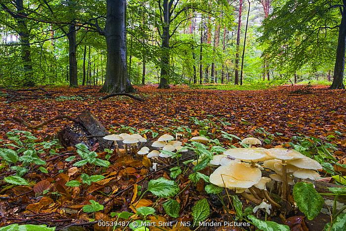 Porcelain Mushroom (Oudemansiella mucida) group in forest, Noord-Holland, Netherlands  -  Mart Smit/ NIS