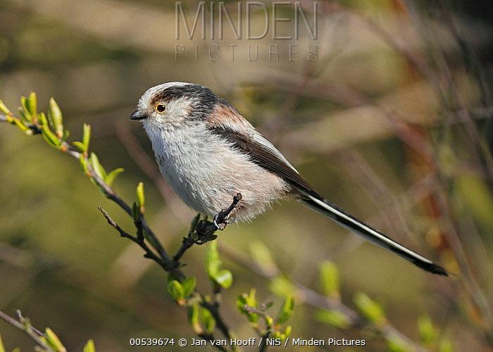 Long-tailed Tit (Aegithalos caudatus), Noord-Holland, Netherlands  -  Jan van Hooff/ NIS