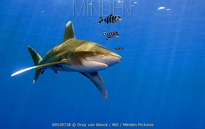 Oceanic White-tip Shark (Carcharhinus longimanus) with symbiotic Pilot Fish (Naucrates ductor), Red Sea, Egypt  -  Dray van Beeck/ NiS