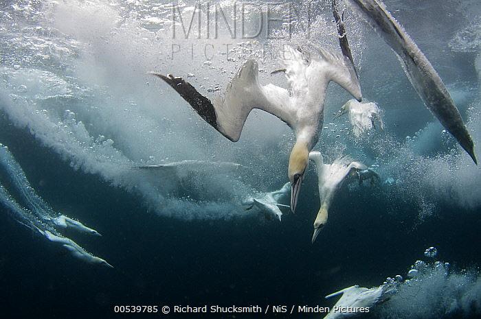 Northern Gannet (Morus bassanus) group diving for fish, Shetland Islands, Scotland, United Kingdom  -  Richard Shucksmith/ NIS