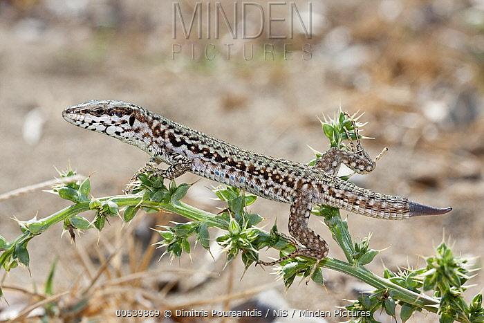 Skyros Wall Lizard (Podarcis gaigeae), Skyros, Greece  -  Dimitris Poursanidis/ NIS