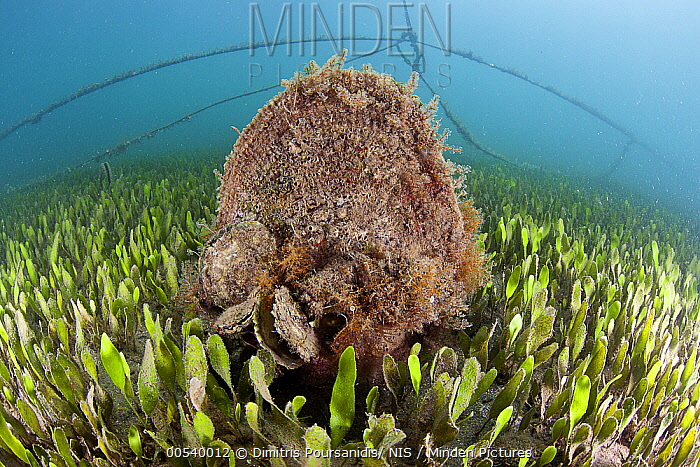 Pen Shell (Pinna nobilis) and Common Oysters (Ostrea edulis), Greece  -  Dimitris Poursanidis/ NIS
