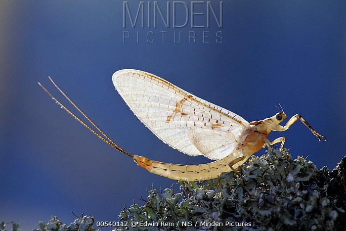 Common Burrower Mayfly (Ephemera danica), France  -  Edwin Rem/ NIS