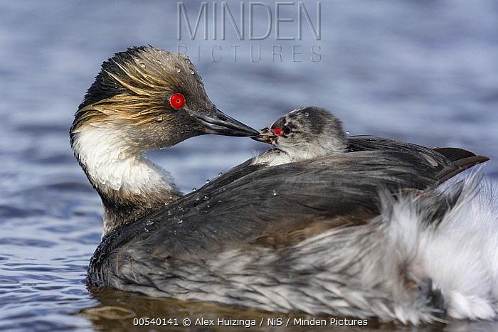 Silvery Grebe (Podiceps occipitalis) parent carrying chick, Sea Lion Island, Falkland Islands  -  Alex Huizinga/ NIS