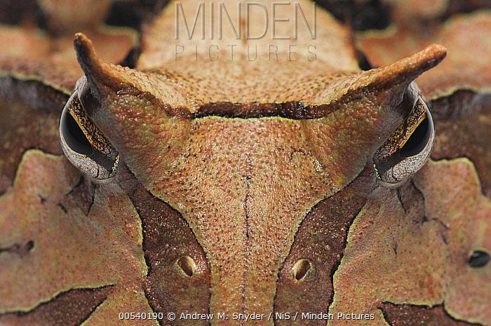 Amazon Horned Frog (Ceratophrys cornuta) face, Guyana  -  Andrew M. Snyder/ NIS