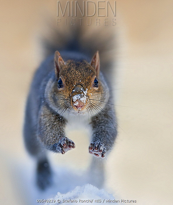 Eastern Gray Squirrel (Sciurus carolinensis) leaping though snow, Italy  -  Stefano Ronchi/ NIS