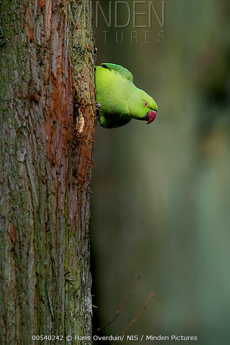 Rose-ringed Parakeet (Psittacula krameri), Zuid-Holland, Netherlands  -  Hans Overduin/ NIS