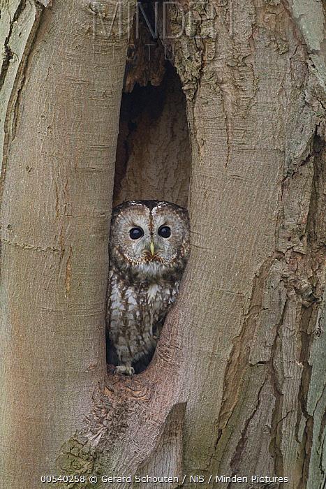 Tawny Owl (Strix aluco) in nest cavity, Noord-Brabant, Netherlands