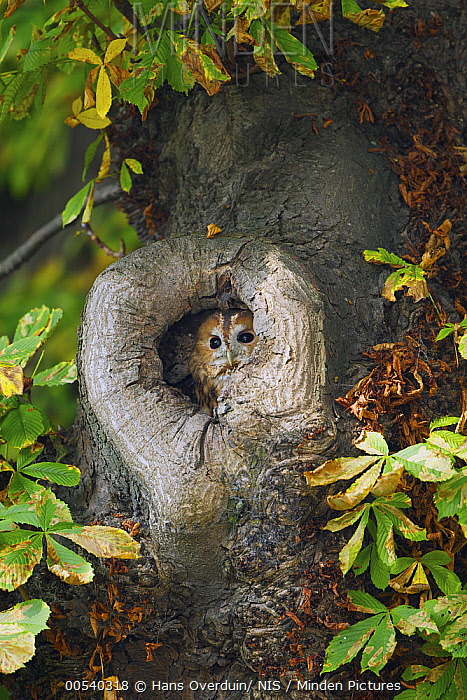 Tawny Owl (Strix aluco) in nest cavity Chestnut (Castanea sp) tree, Zuid-Holland, Netherlands  -  Hans Overduin/ NIS