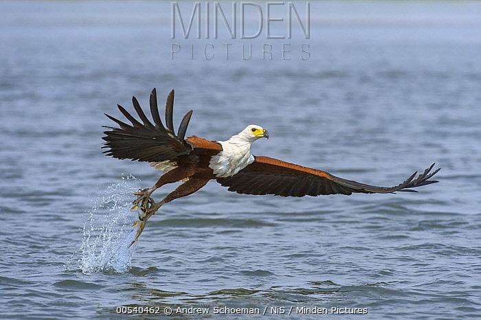 African Fish Eagle (Haliaeetus vocifer) carrying fish prey, Chobe National Park, Botswana  -  Andrew Schoeman/ NIS