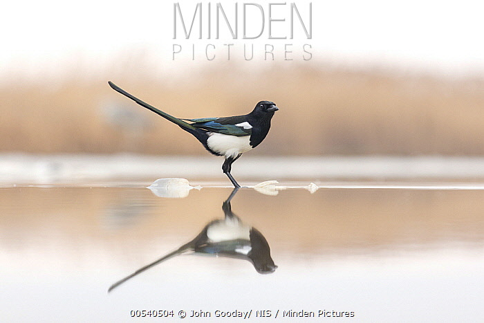 European Magpie (Pica pica) in water, Kiskunsag National Park, Hungary  -  John Gooday/ NIS